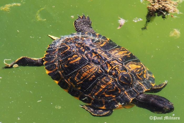 beautiful colours - turtle