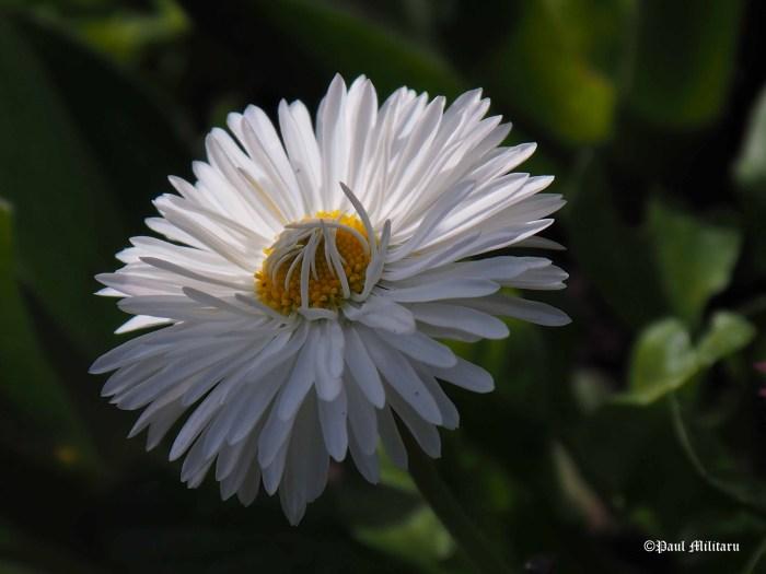 daisy shy
